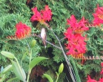 Hummingbird in Crocosmia