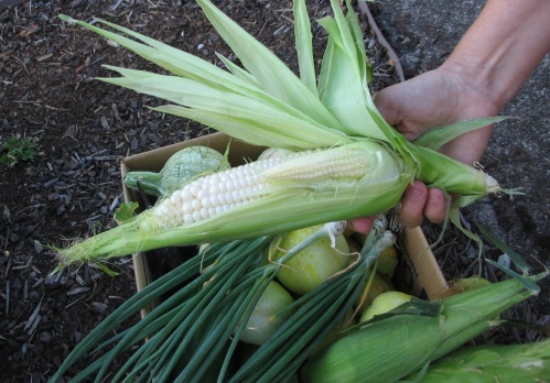 Double-takes on sweet corn