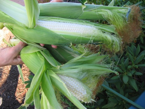 Irresistible sweet corn var. Silver Princess