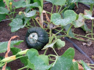 Powdery mildew on Butternut squash
