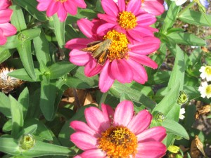 Juba skipper on 'Cherry Profusion' zinnias