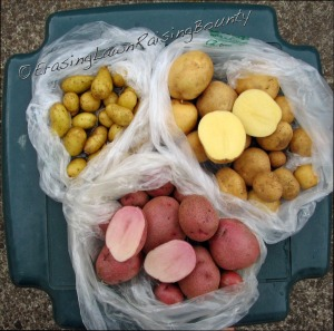 Upper left: Fingerlings (well maybe finger-nail-ings); upper right: Yukon Gold; lower: Cranberry Red