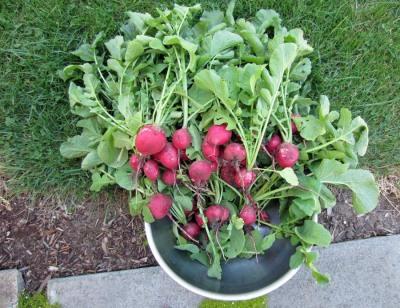 Giant radishes!
