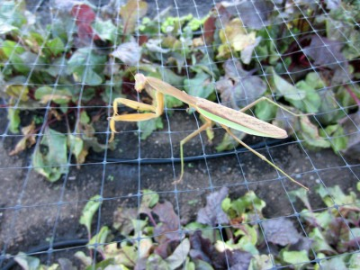 Apologies to our beautiful praying Mantis, who is probably eyeing an insect or two under the netting.  What a beaut!