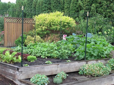 Entering the peak season of maturity: lettuce overlapping with bush beans, squash blossoms, baby zucchini, and green tomatoes!  July 23-2014