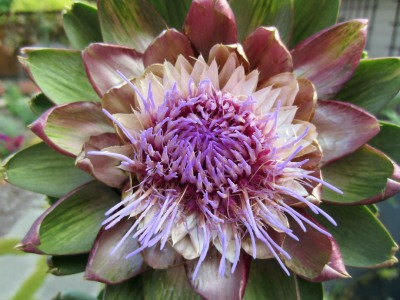 When an artichoke thistle flower resembles a lotus flower.  Nature's magical geometry.