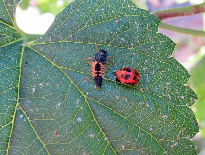 A beautiful picture of two non-adult ladybugs.  The one on the right is almost an adult, but still has no wing differentiation; it is the pupal stage, occuring just after the larva on the left molts 3 times.  The youngster larvae are voracious eaters. Adults also eat plant pests such as aphids, but are designed more for their beauty, ability to fly off elsewhere, meet other adults, lay more eggs, and ensure the survival of the species...;-)