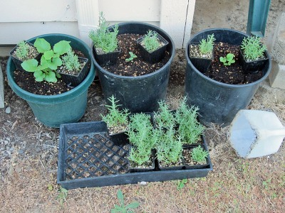 Lavender seedling sentinels for the sprouting melons.  Keep those deer browsers out!