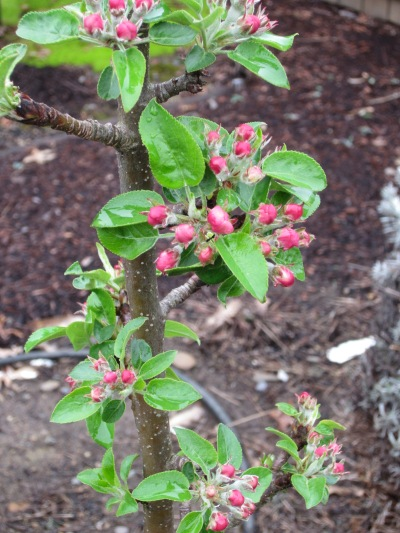 Newly leafed and blossomed apple enjoying no pruning by deer; we'll see how long!