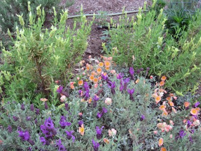 In spite of our overcast, cool, yet very dry weather, the bees are actively buzzing amidst the Spanish lavender!