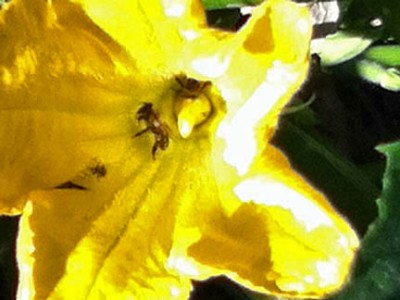 Bee party still going strong in the summer squash blossoms!
