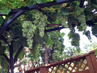 Luscious grapes, still a bit tart, but almost ready for harvest!