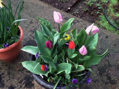 mar-12-16 tulips